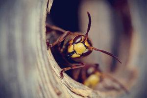 Hornissennest entfernen: Unbedingt Schädlingsbekämpfer zur Hilfe rufen.