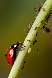 Das Ziel der ökologischen Schädlingsbekämpfung ist es nicht, die Schädlinge zu vernichten, sondern ihre Vermehrung einzudämmen.