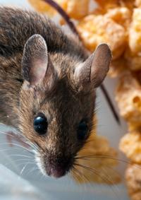 Hausmäuse gelten in erster Linie als Vorratsschädlinge, aber auch Krankheiten können von den Nagern übertragen werden.