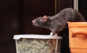 Ratten fressen Lebensmittelvorräte und verunreinigen diese mit ihren Ausscheidungen.
