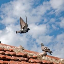 Tauben sind nicht nur Objektschädlinge, sondern auch Krankheitsüberträger.