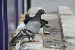 Taubenzecken befallen Menschen, falls ihre Wirte fernbleiben.