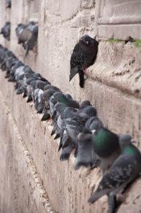 Im innerstädtischen Bereich ist die Vogelabwehr immer noch vornehmlich auf die Vergrämung von Tauben ausgerichtet.